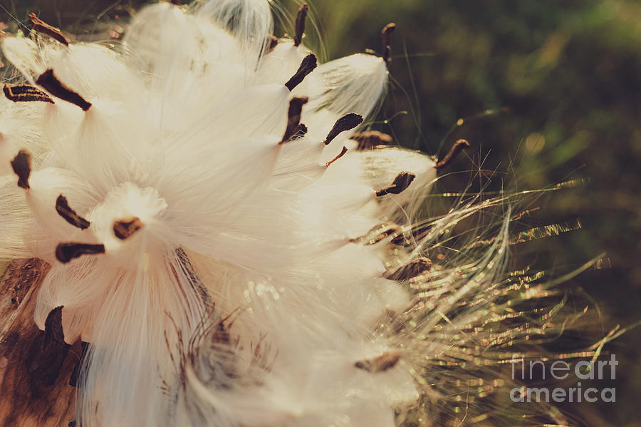 Detail of an autumnal flower of pale and soft tones  with seeds. by Joaquin Corbalan
