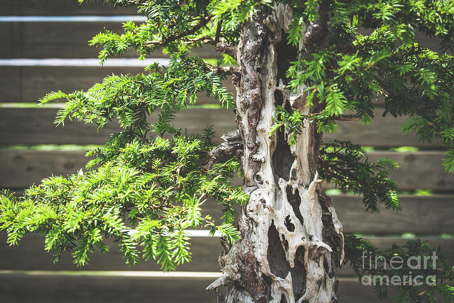 Detail Of An Old Yew Bonsai Tree Photograph By Visual Motiv