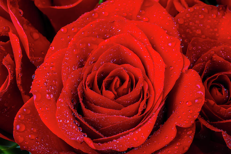 Dew Covered Red Rose by Garry Gay