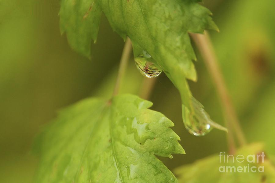 Leaves Photograph - Dew Drops by Roland Stanke