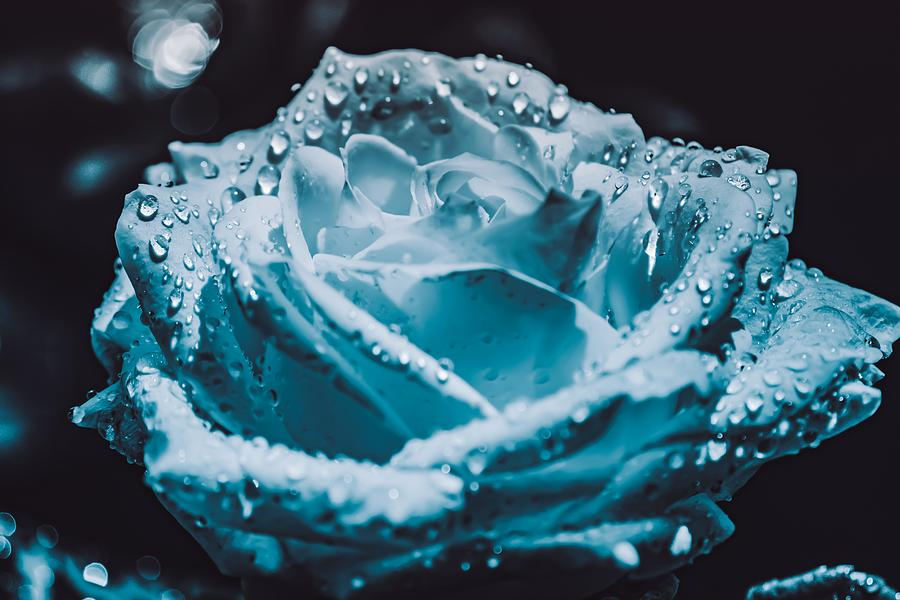 Dewdrops On A Blue Zen Rose. Photograph