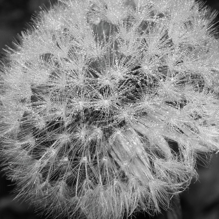 Bw Photograph - Dewy Dandelion by Bear R Humphreys