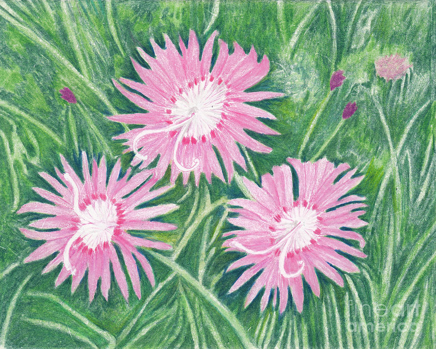 Dianthus Flowers - Pinks Drawing