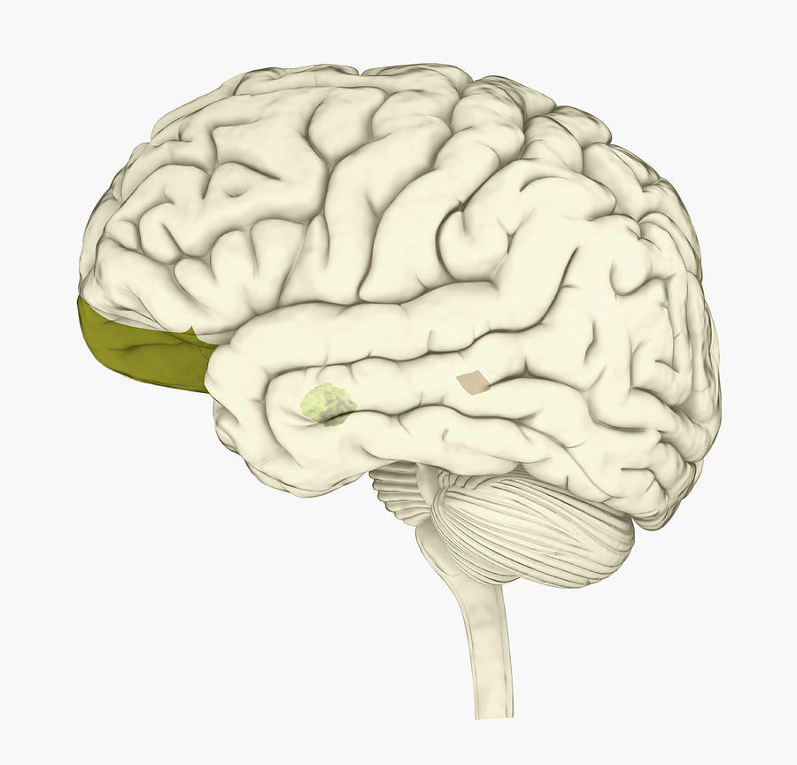 Digital illustration of human brain with orbitofrontal cortex and amygdala highlighted in green Drawing by Dorling Kindersley