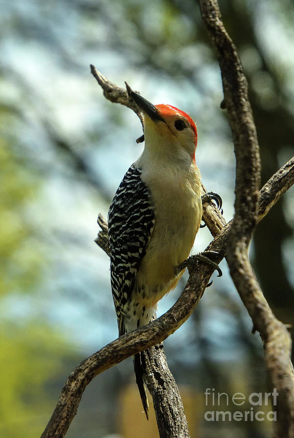 Dignified Red-bellied Woodpecker Photograph
