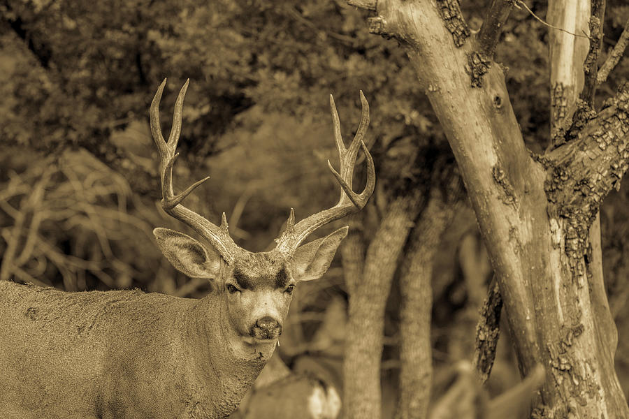 Dirty Nose - Mule Deer Buck Antiqued Photograph