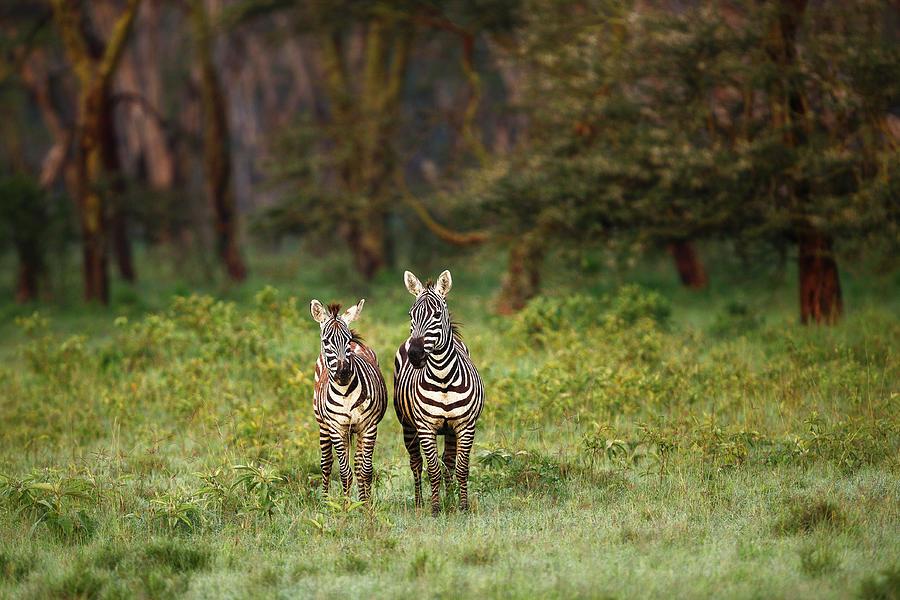 Dirty Zebras Photograph