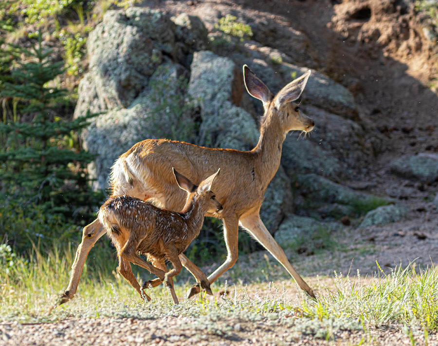 Doe Mule Deer And Fawn Photograph