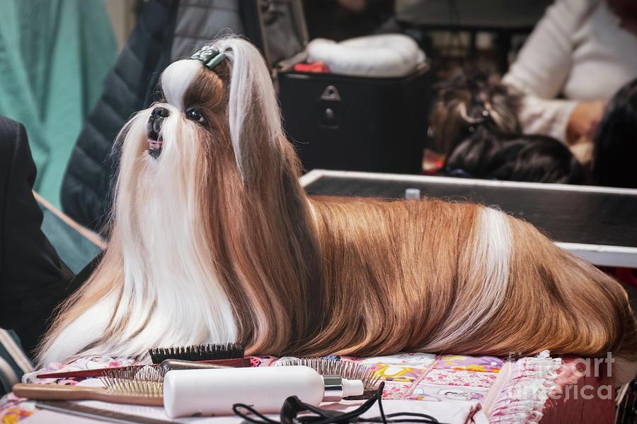 dog hairdresser Lhasa Apso grooming combing brushing fur dog show by Luca Lorenzelli