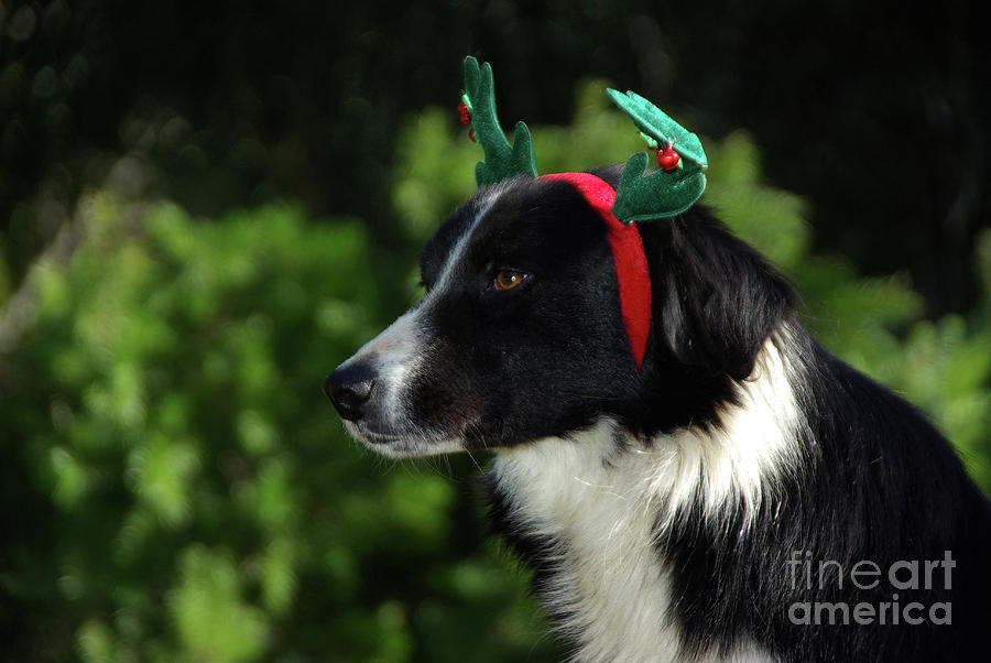 Dog Wearing Christmas Reindeer Antlers Photograph