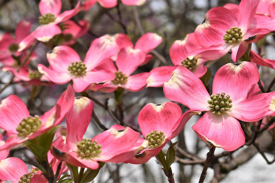 Dogwood Blooms Photograph