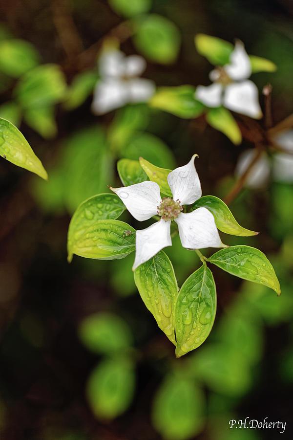Dogwood Blossom Photograph