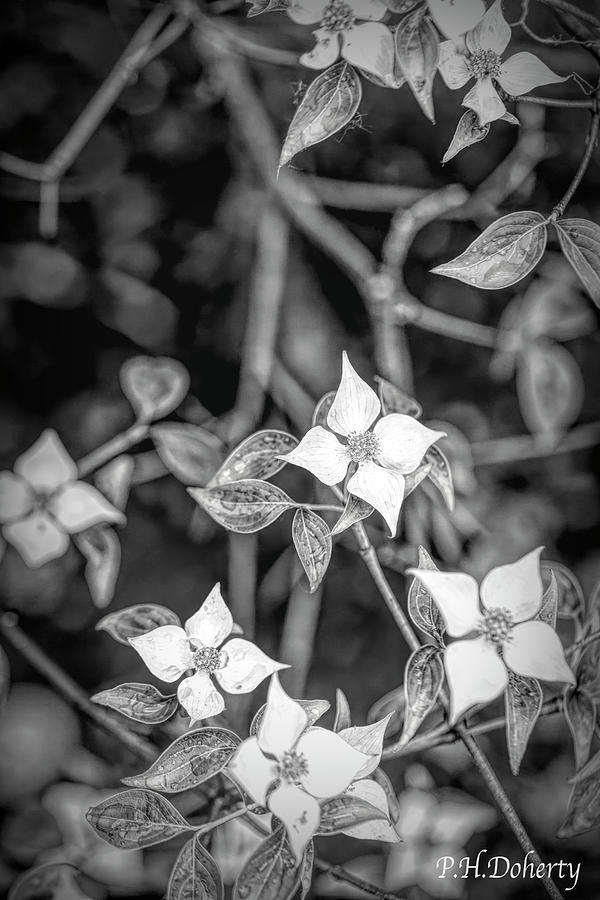 Dogwood Blossoms Digital Art