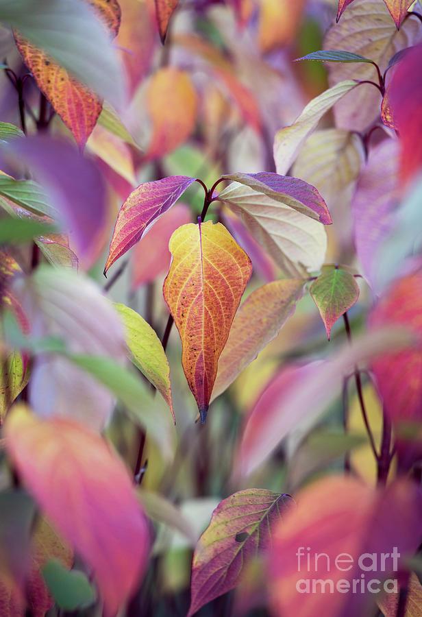 Dogwood Sibirica Ruby in Autumn by Tim Gainey
