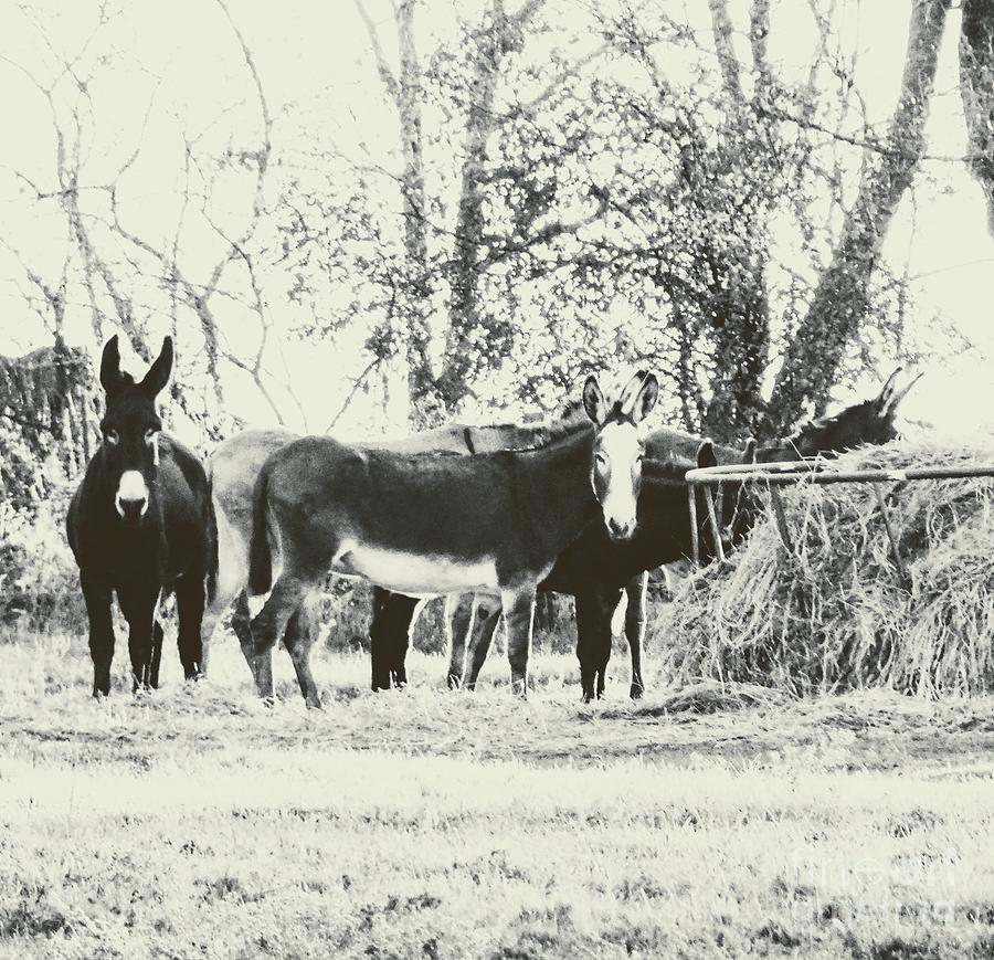 Donkey Farm Photograph