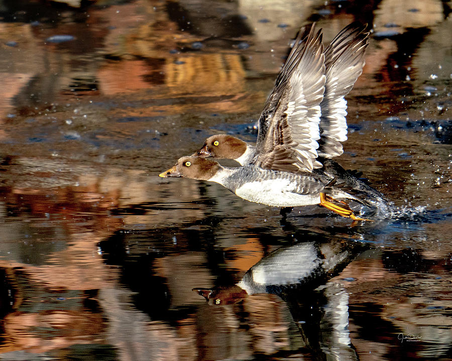 Double-Trouble -- Two Flying Goldeneye Ducks by Judi Dressler