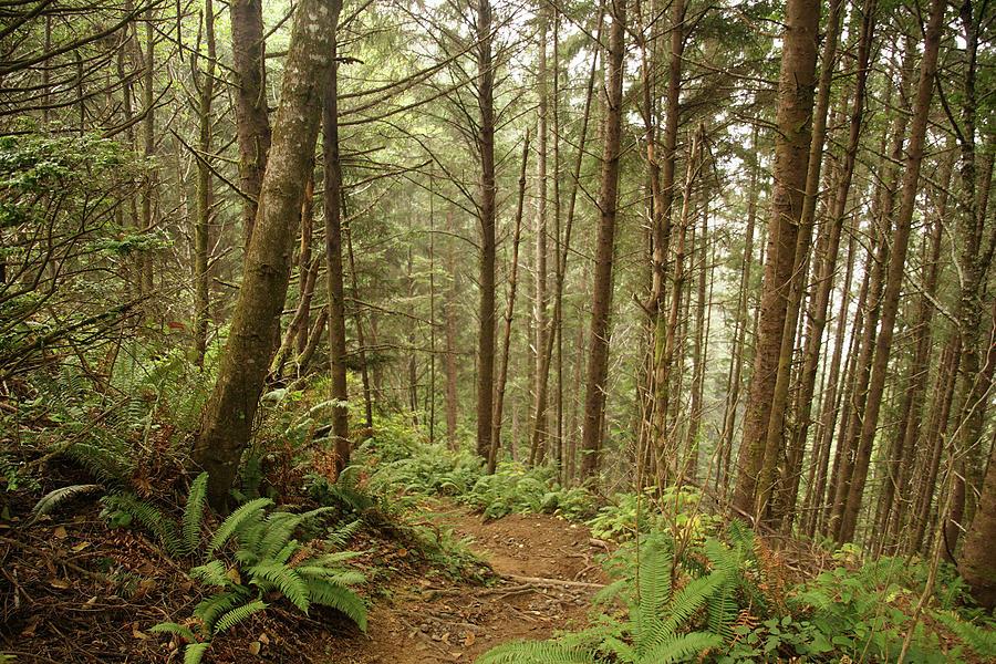 Douglas fir forest Photograph by Steve Estvanik  Douglas Fir Forest