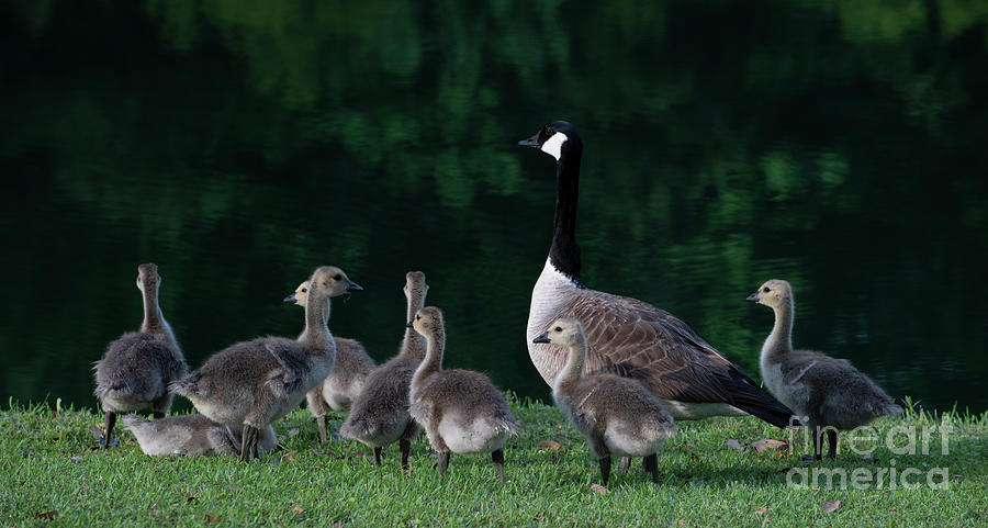 Down By The Lake - Geese Gathering Photograph