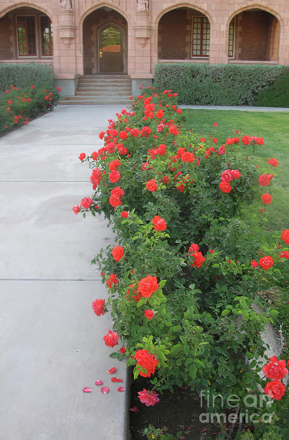 Downtown Roses Photograph