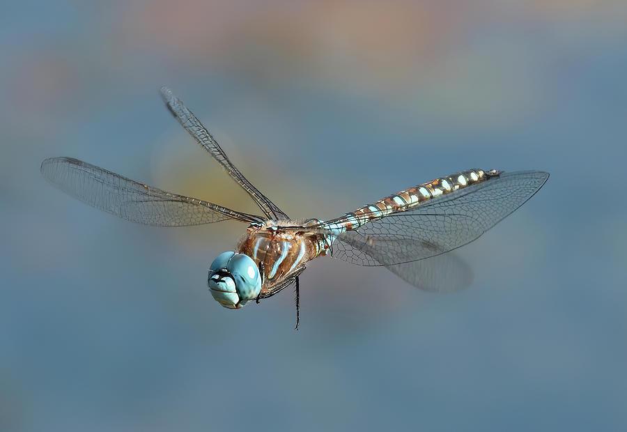 Dragonfly Photograph - DragonFly by Sheldon Bilsker