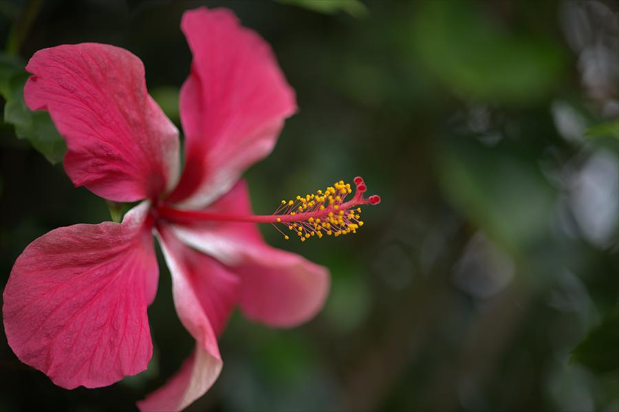Dreamtime Hibiscus Photograph