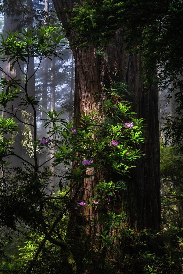 Dreamy Redwoods by Chuck Jason