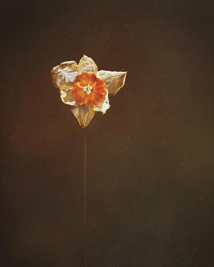 Dried Daffodil Photograph