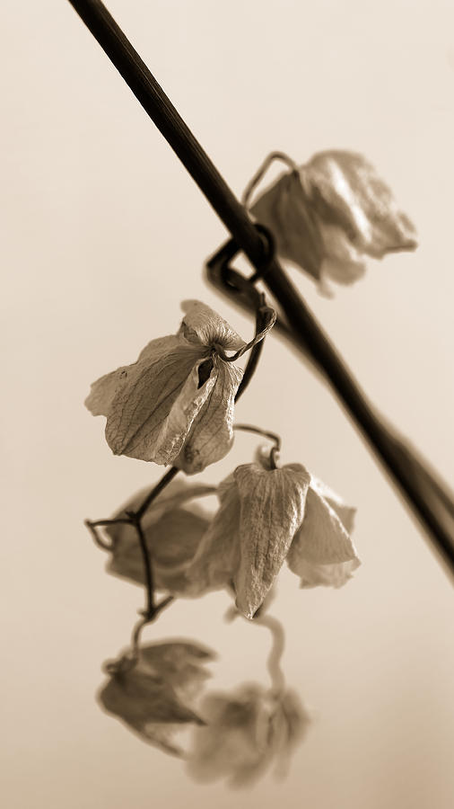 Still Life Photograph - Dried Orchid Flowers by Jussi Laasonen