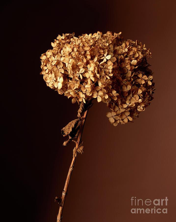 Dry Hydrangea Photograph