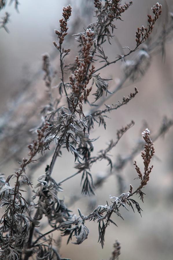 Dry Winter Mugwort by Jenny Rainbow