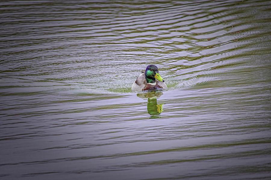 Duck Eye #k0 Photograph