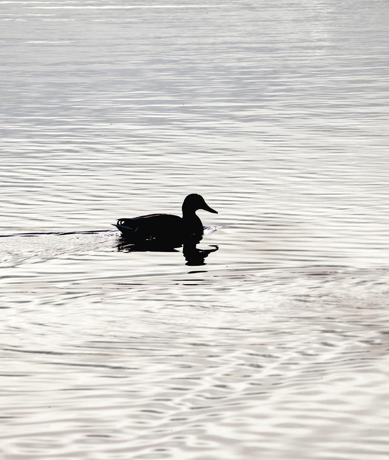 Duck in calm waters by Paul Ross
