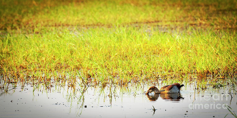 Duck On The Chobe River Photograph