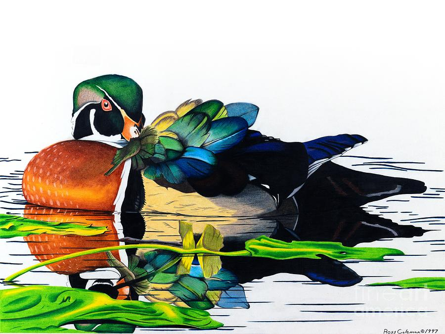 Duck Drawing by Ross Coleman
