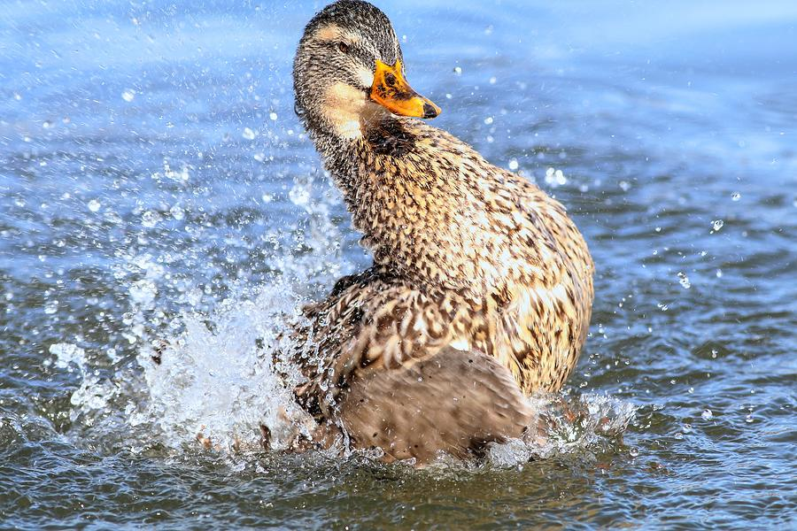 Duck Splash by Carol Montoya