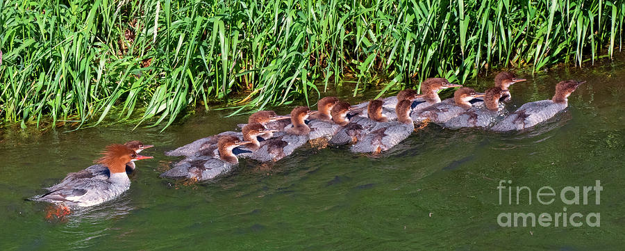 Duckling Daycare Photograph
