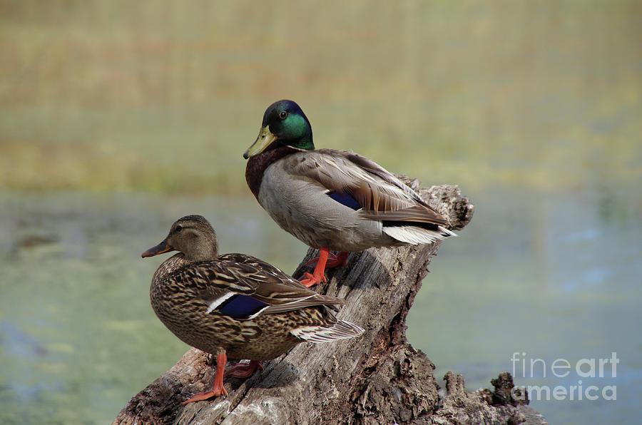 Ducks On Log Overlooking Pond Photograph