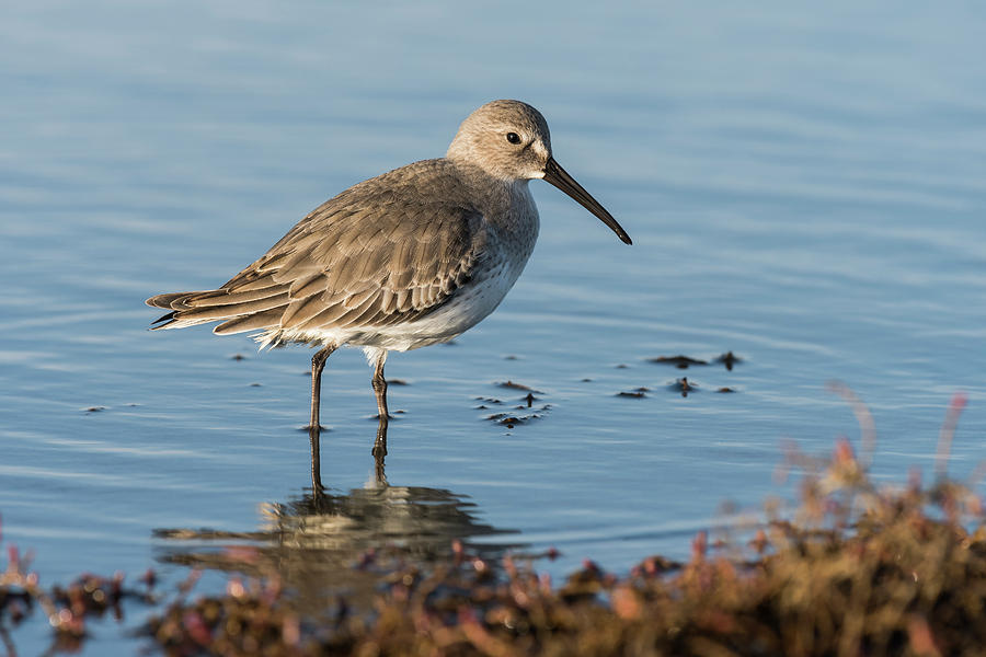 Dunlin in a Pond by Robert Potts