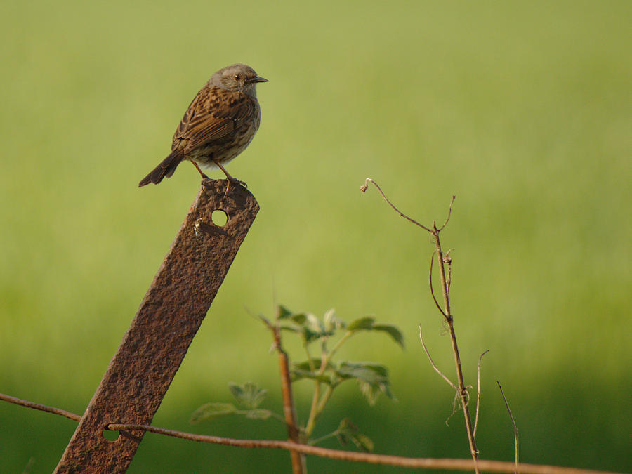 Dunnock on the Lookout by Adrian Wale