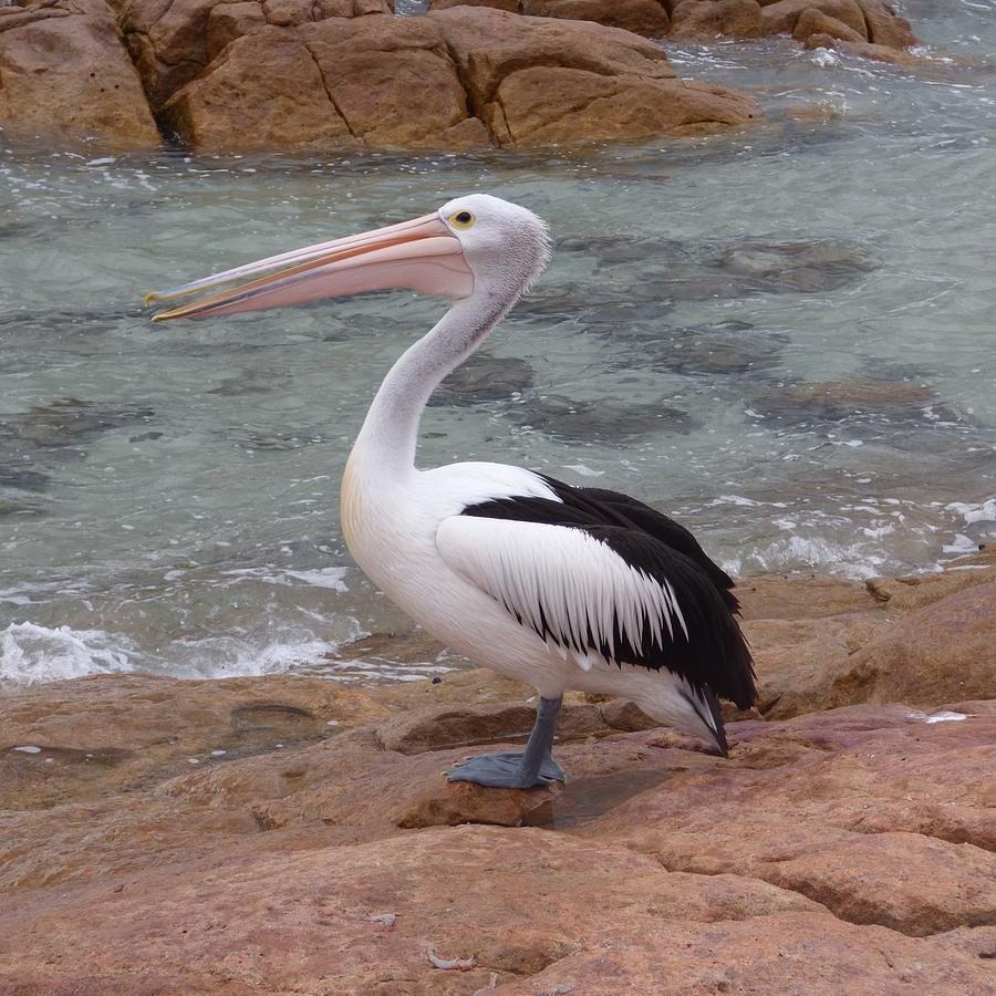 Dunsborough Pelican Photograph