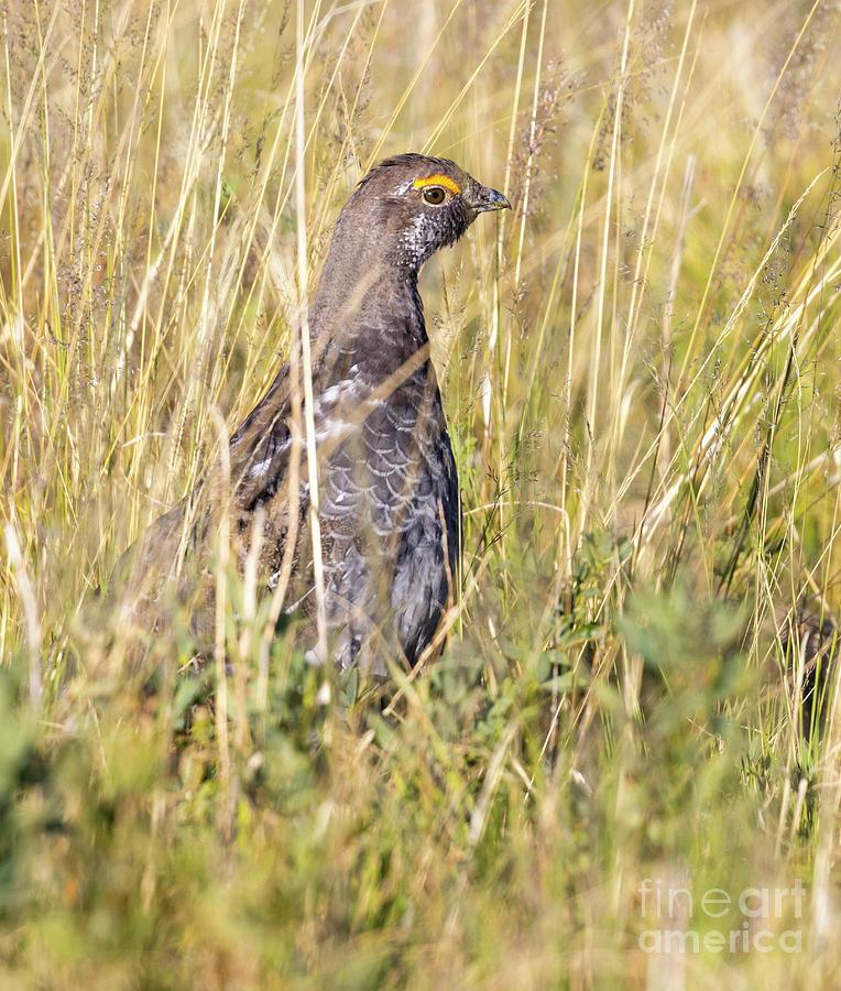 Dusky Grouse In The Grass Photograph
