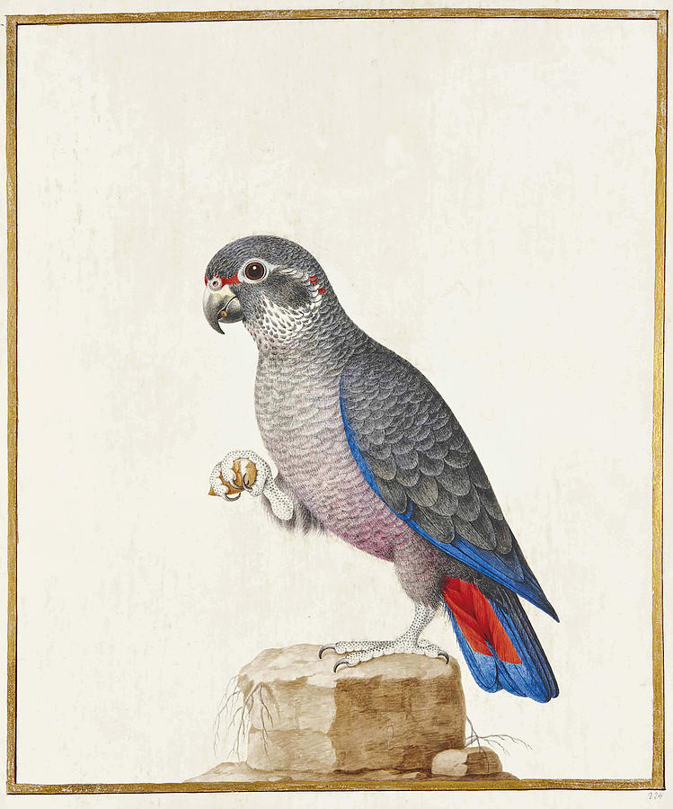 Dusky parrot on a rock, Pionus fuscus by Nicolas Robert or his Workshop