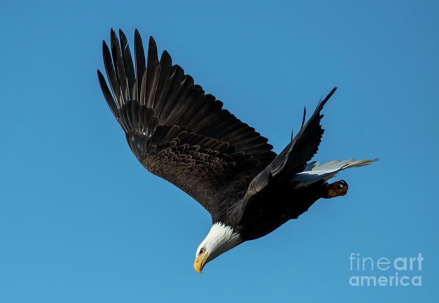 Eagle Dive Photograph