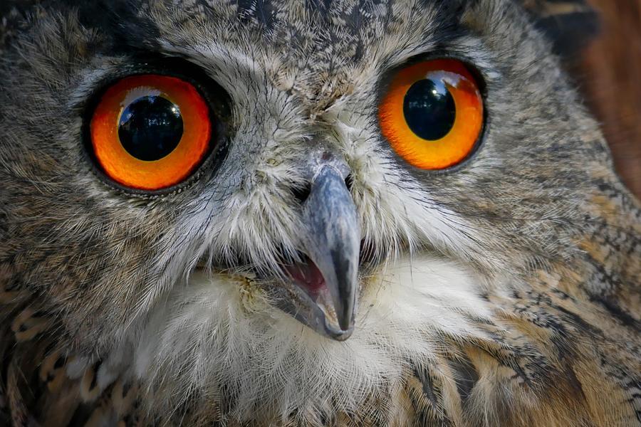 Eagle Eyes Owl by Joy of Life Arts