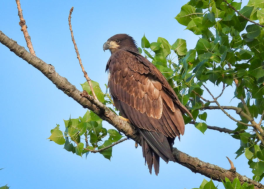 Eagle Fledgling by Jack Wilson