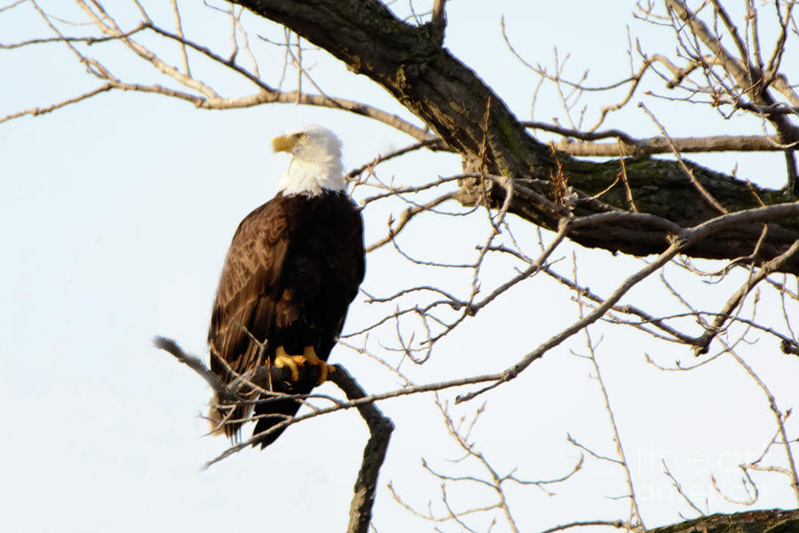 Bald Eagle Photograph - Eagle by Gaby Swanson