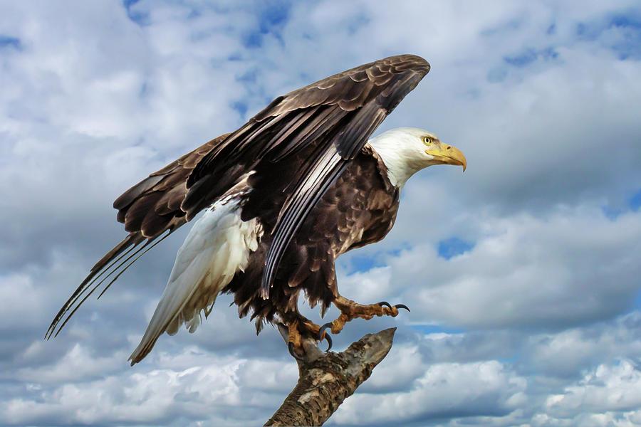 Spread Photograph - Eagle has Landed by Joann Long