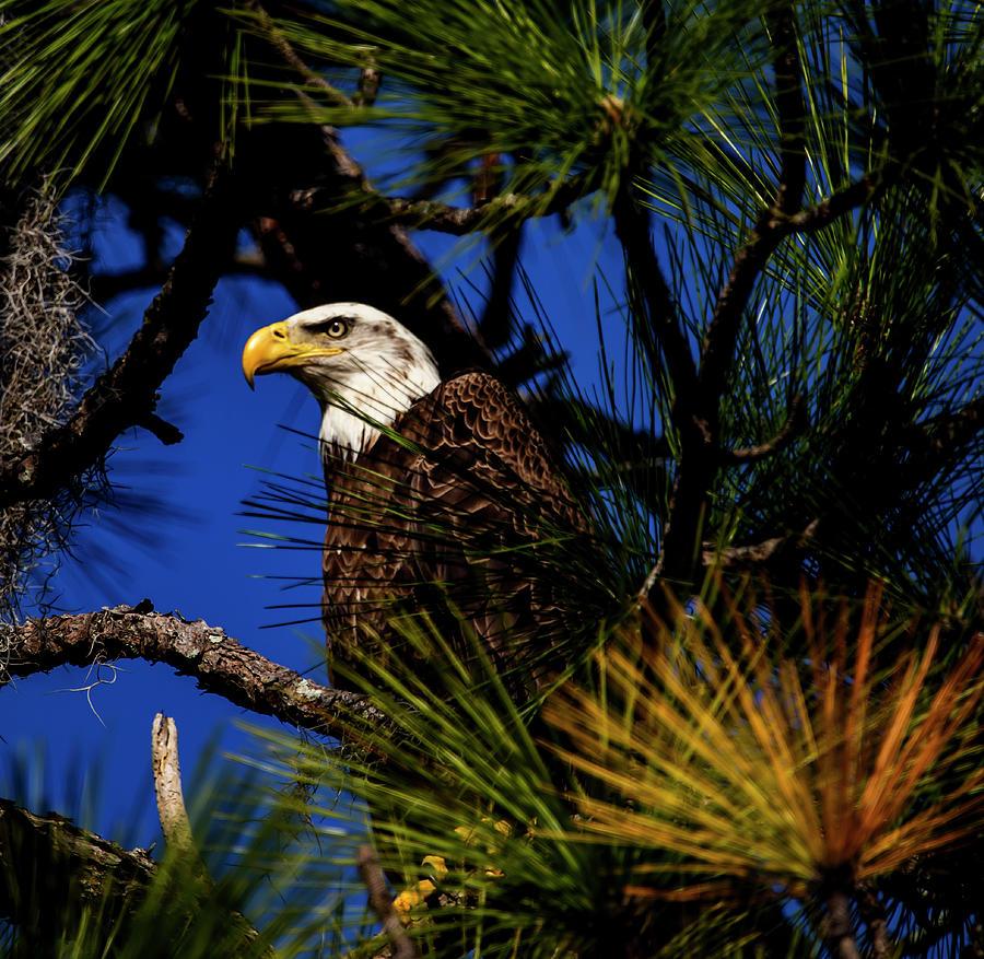 Eagle by Kevin Banker