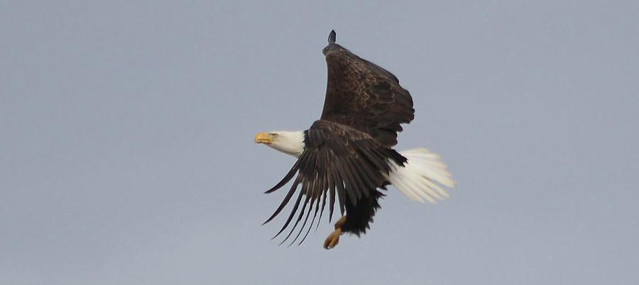 Eagle Landing Photograph