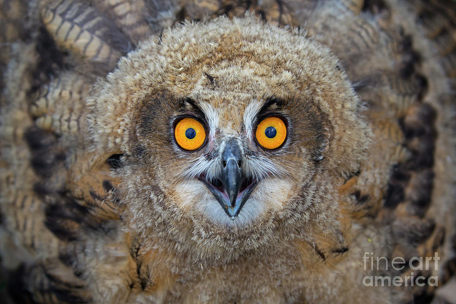 Eagle Owl Owlet by Arterra Picture Library